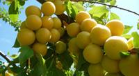 Les pruniers du verger du Domaine de l'été